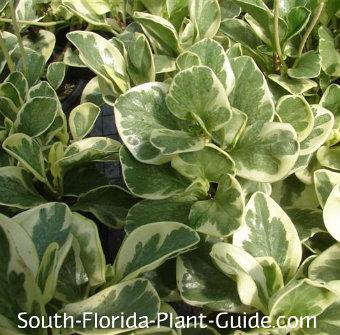 variegated peperomia