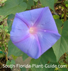 perennial morning glory flower