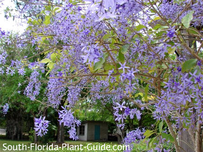 Cascading Purple Flowers Of Petrea Vine