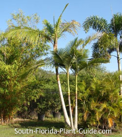 Triple-trunk palm at nursery