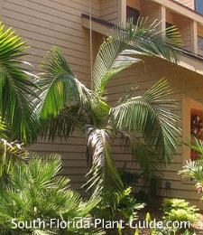 piccabeen palm by house