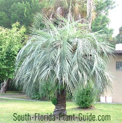 pindo palm stand-alone specimen in a yard