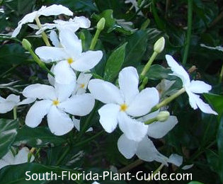 pinwheel jasmine flowers