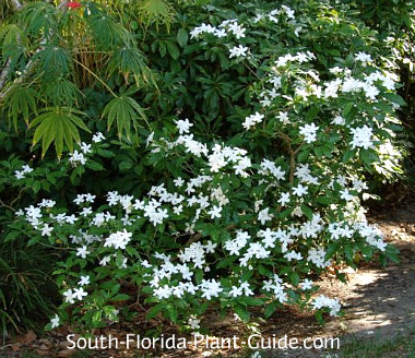 Pinwheel jasmine in a part shade bed