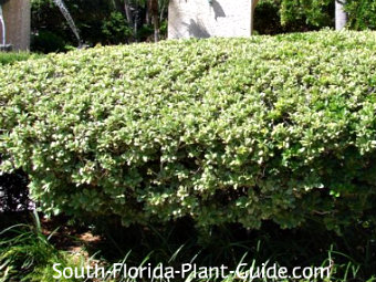 Hedge shrubs