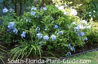 blue plumbago in a garden bed
