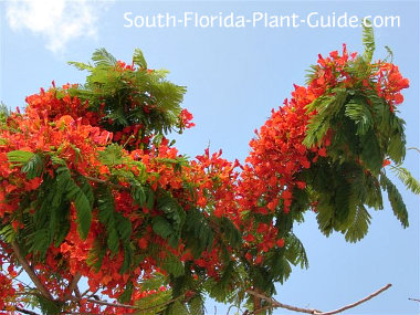 Royal Poinciana Tree Branch Covered With Red Flowers