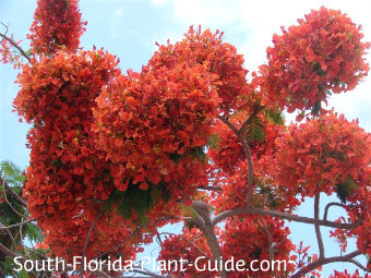 royal poinciana flowers