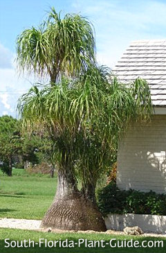 Palm with large base