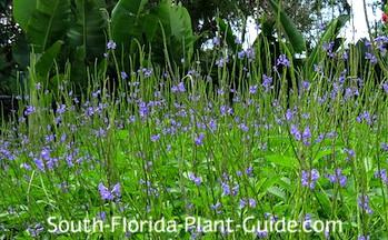 A field of little blue flowers