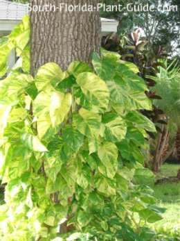 Golden pothos climbing an oak tree