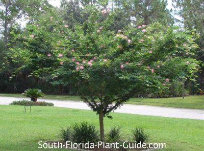 pink powderpuff tree
