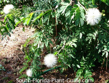white flowering variety