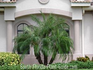 Triple-trunk palm beside house