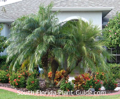 triple pygmy date palm in landscape