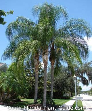 Queen palm grouping at edge of a property