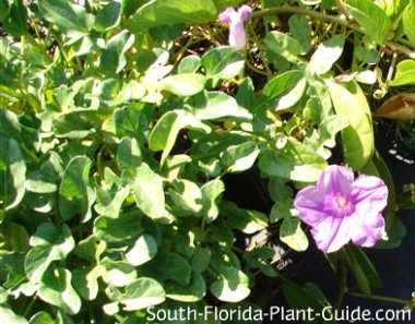 Railroad vine leaves and pink flower