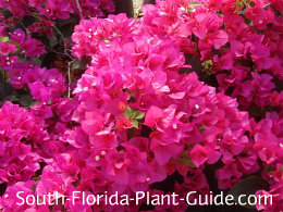 Raspberry Ice bougainvillea flowers