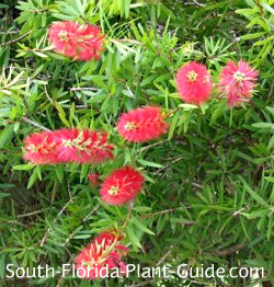 red cluster bottlebrush tree flowers