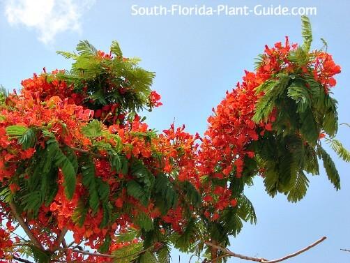 Delonix regia 10 Bonsai Red Flowering Tropical ROYAL POINCIANA TREE SEEDS