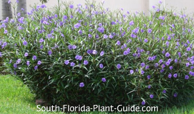 Purple flowering ruella