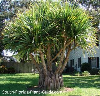 The Palm Tree Page - Arecaceae - Succulent plant