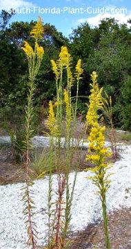 Native plant seaside goldenrod