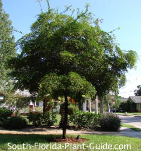 Young tree in a front yard