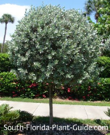 closely clipped silver buttonwood tree