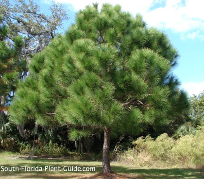 Young slash pine tree