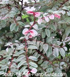 Snowbush foliage detail