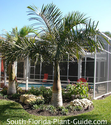 Spindle palms by a pool cage