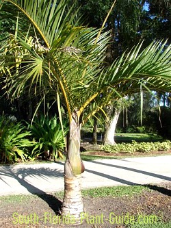 Hard Water Areas >> Spindle Palm