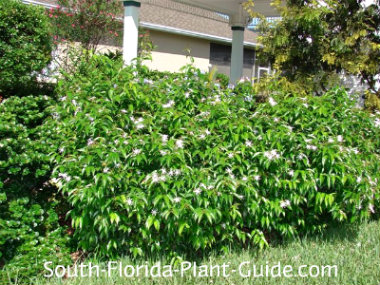 Star jasmine in front of a home
