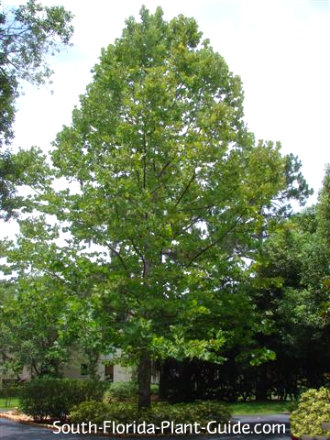 Sycamore tree