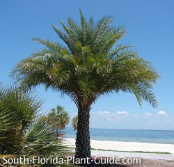 sylvester palm near the beach
