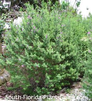 Texas sage bush