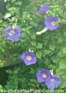 thunbergia flowers in part shade