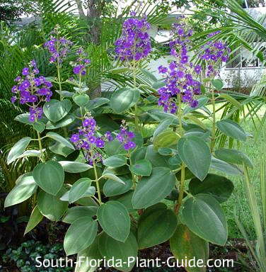 Grandifolia variety with velvety leaves and purple flower spikes