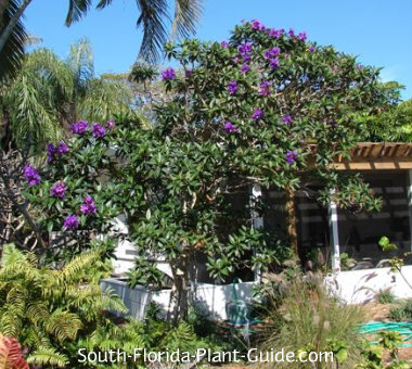 large tibouchina tree in landscape