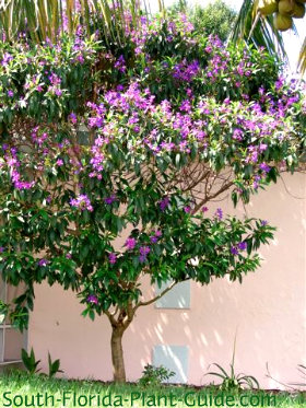 Tibouchina tree full of purple flowers beside a house