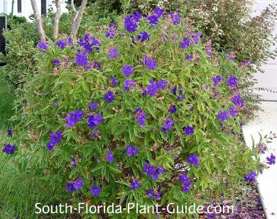 Tibouchina Urvilleana Full Of Purple Blooms