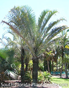 triangle palm with trunk