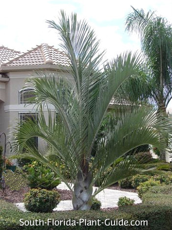 triangle palm in formal landscape