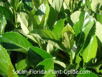 awabuki viburnum foliage