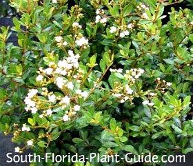 Dwarf Walters white flowers