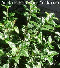 viburnum suspensum leaf detail
