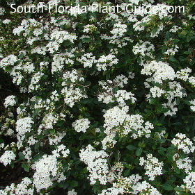 Viburnum 'Walters Select' flowers