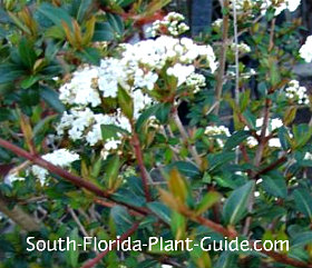 white spring flowers of Walters Select viburnum