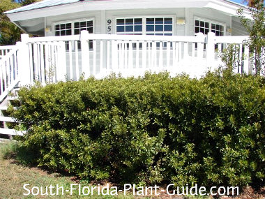 Young wax myrtle shrubs lining a deck